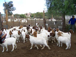 Boer and Kalahari goat Eastern Cape
