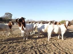 Boer Goats and Kalahari Red Goats - Whatsapp
