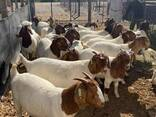 Boer Goats Available - photo 1