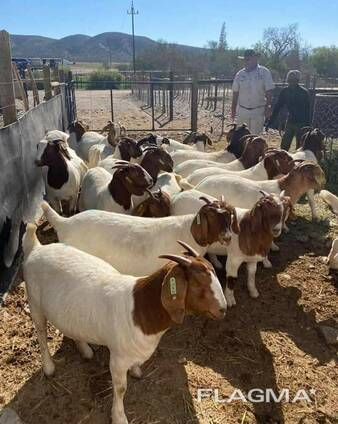 Boer Goats Available