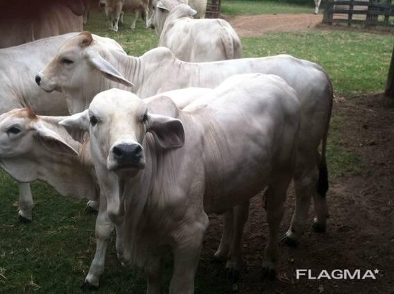 Bonsmara, Brahman and Nguni Cattle price