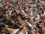 Chicken and fresh chicken eggs Eastern Cape - photo 1