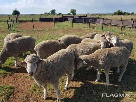 Dorper and Merino Lambs Eastern Cape