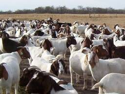 Healthy Goats/Sheep For Sale