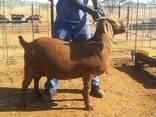 Kalahari Buck And Does Available - фото 1