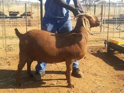 Kalahari Buck And Does Available