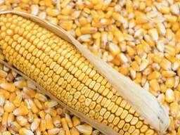 Кукуруза фуражная 2020
