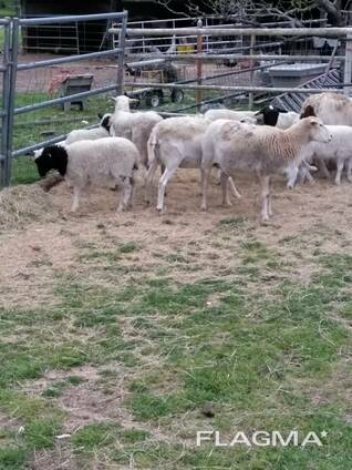 Meat Master Sheep and lambs For Sale Whatsapp