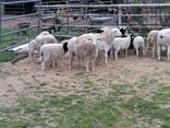 Meat Master Sheep and lambs For Sale Whatsapp - photo 2