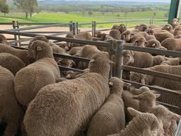 Merino and Dorper sheep for sale