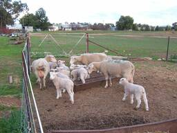 Merino sheep for sale whatsapp