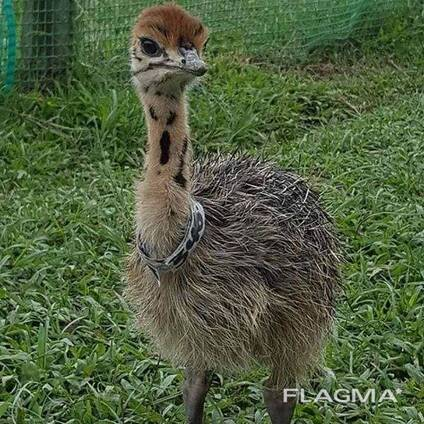Ostrich chick and fertile egg for sale whatsapp