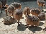 Ostrich chicks and fertile eggs price - photo 1