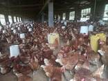 Where can Chicken and fresh chicken eggs - photo 1